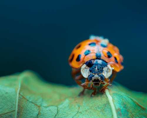 Closeup of little red ladybug with black spots covered with fresh drops of water on verdant grass on blue background