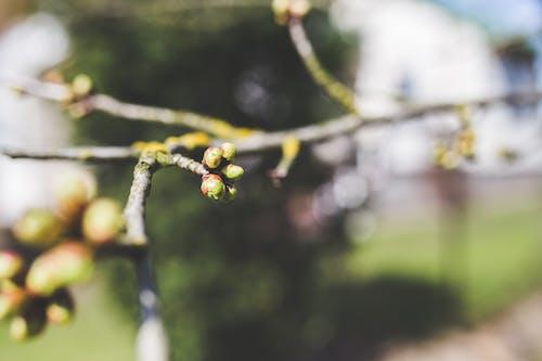 Fotobanka sbezplatnými fotkami na tému čerešňa, detail, príroda, púčik