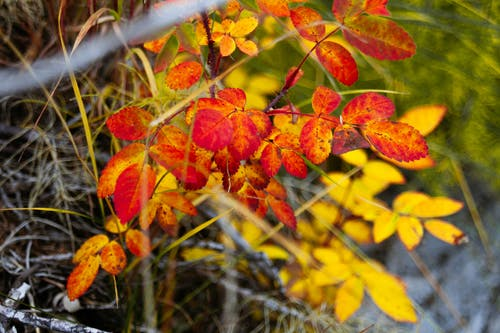 Red and Yellow Leaves on Brown Tree Branch
