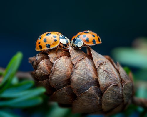 Closeup of rough pine cone with small ladybugs on green spruce tree on blurred background