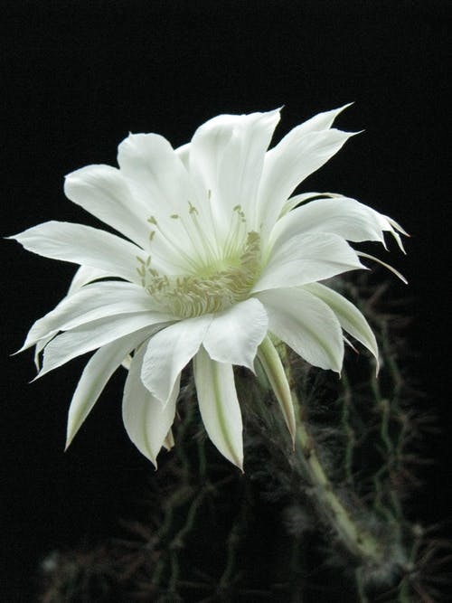 Close-Up Shot of a Night-Blooming Cereus in Bloom