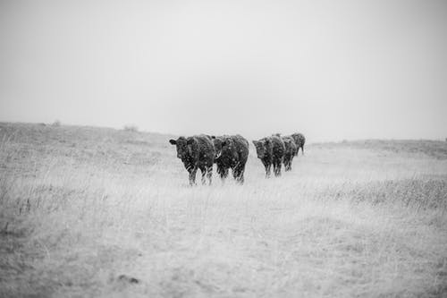 Grayscale Photo of Cows Walking on a Grassy Field