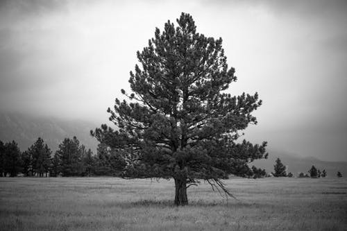 Grayscale Photo of a Big Tree on a Field