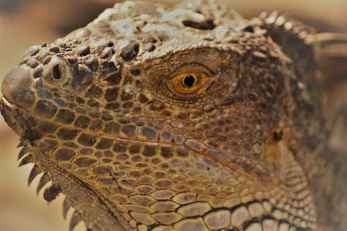 Close-Up Shot of an Iguana