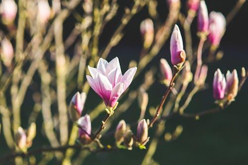 ブッシュ, マグノリア, 低木, 咲くの無料の写真素材