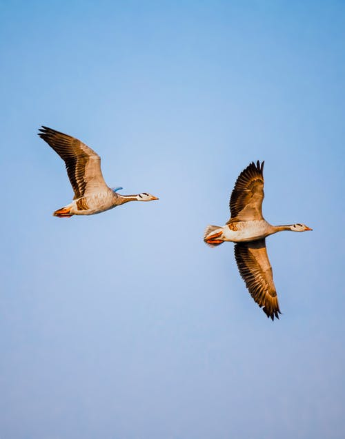 Wild bar headed geese spreading wings while floating on blue sky in nature