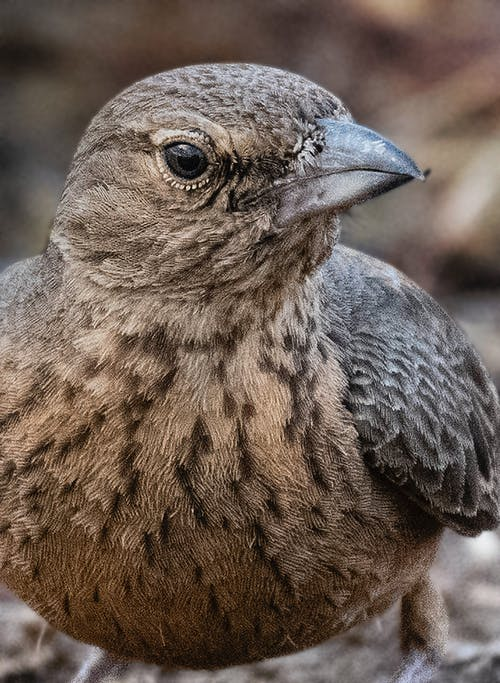 Brown feathered rufous tailed finch lark