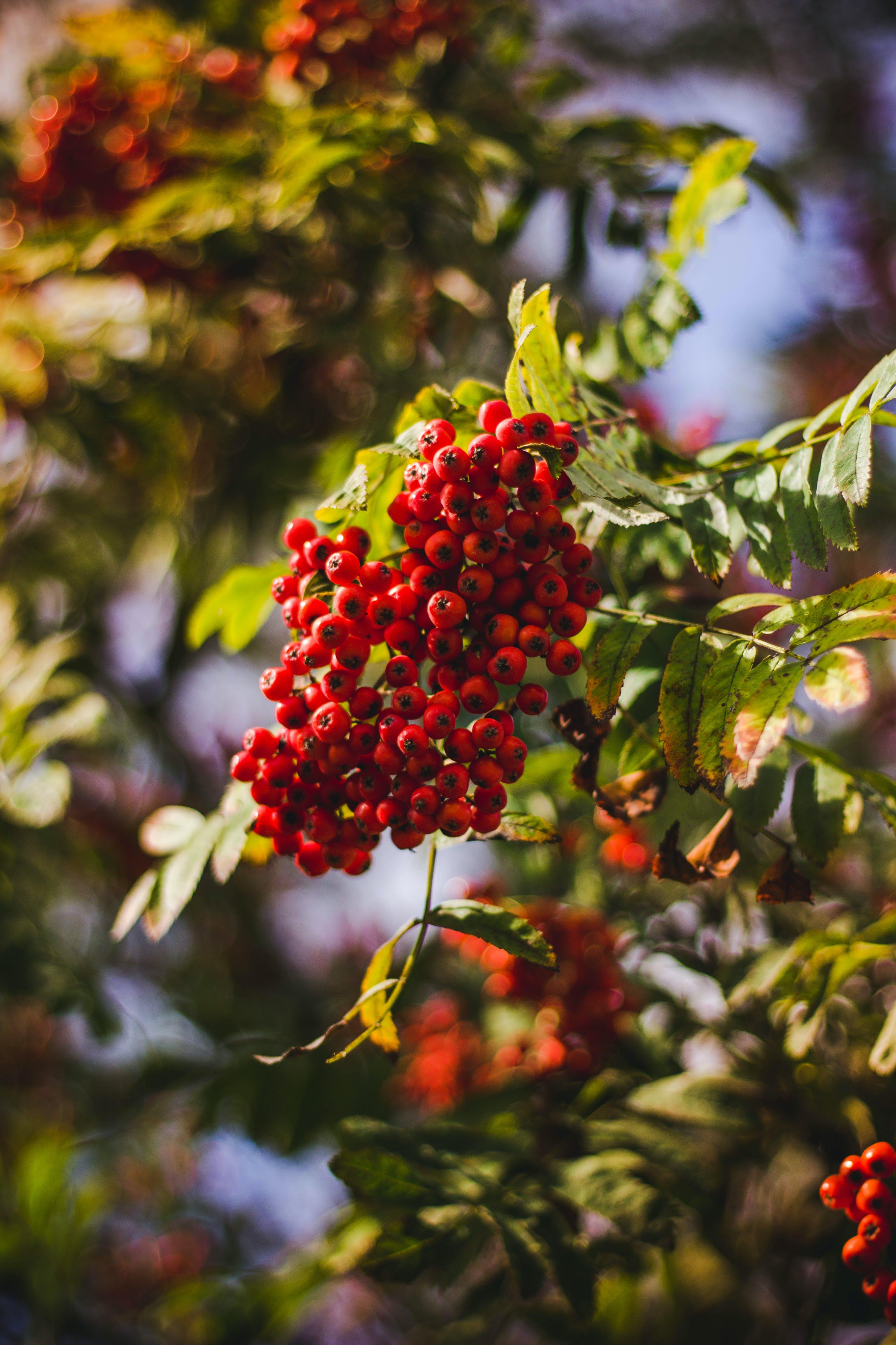 Darmowe zdjęcie z galerii z czerwony, drzewo, jedzenie, natura