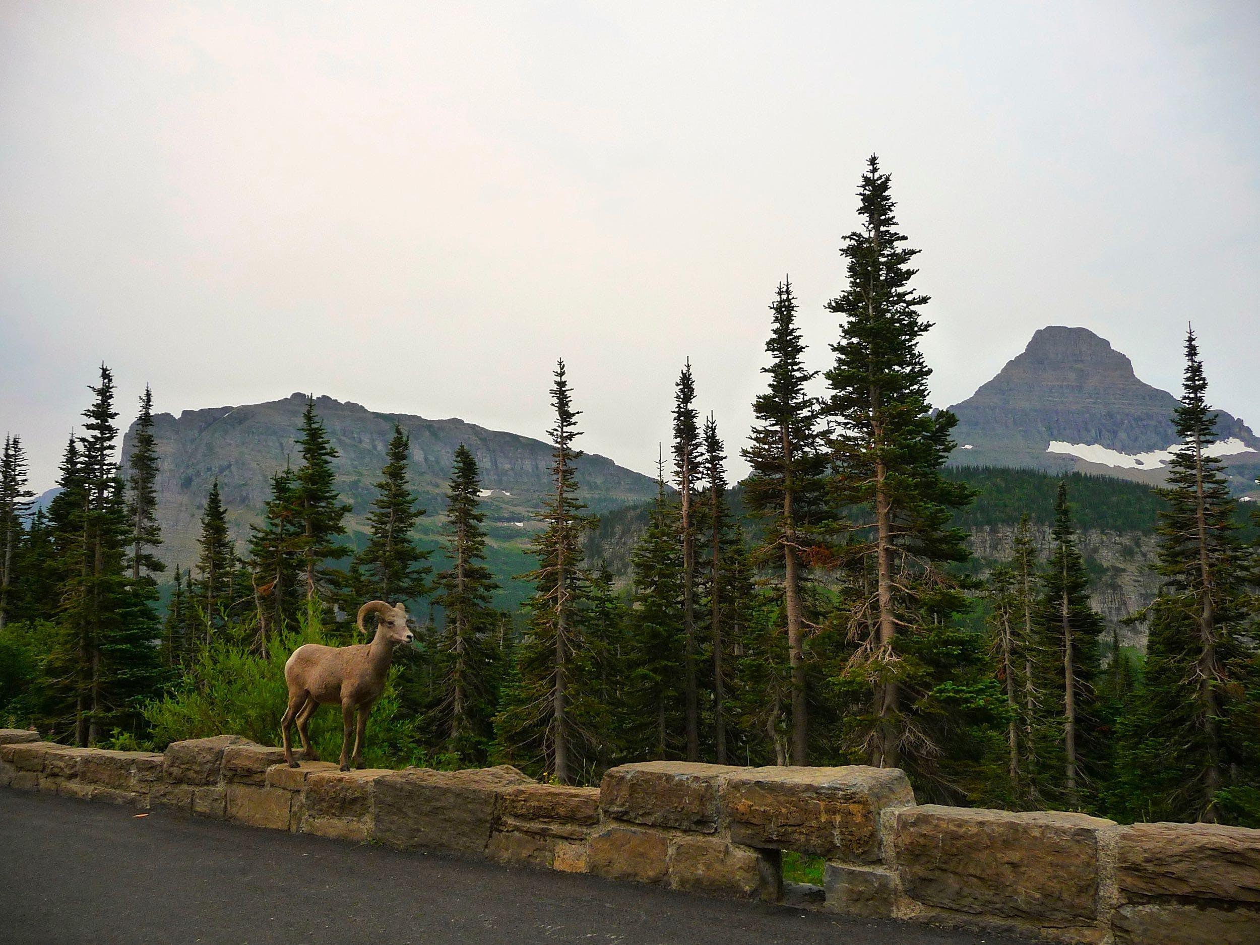 Kostenloses Stock Foto zu bäume, berge, mufflon, natur