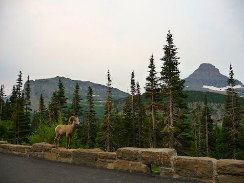 Fotobanka sbezplatnými fotkami na tému divé zviera, hory, muflón, príroda
