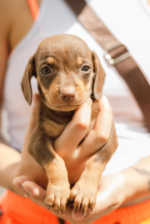 Crop lady holding little Dachshund puppy in hands on sunny day