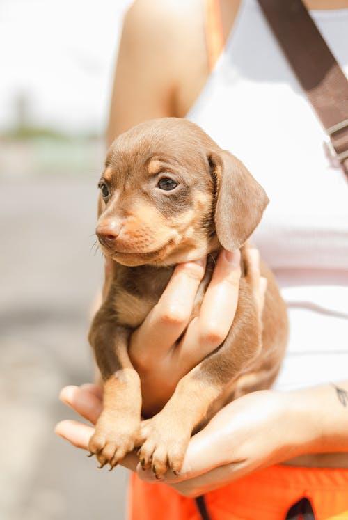 Lazy little Dachshund puppy sitting on hand on crop unrecognizable woman standing on road on sunny day
