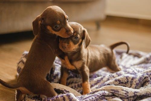 Funny little Dachshund dogs cuddling on floor