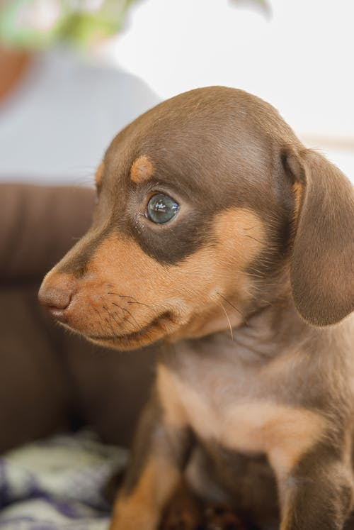 Curious Dachshund puppy resting on sofa and looking away