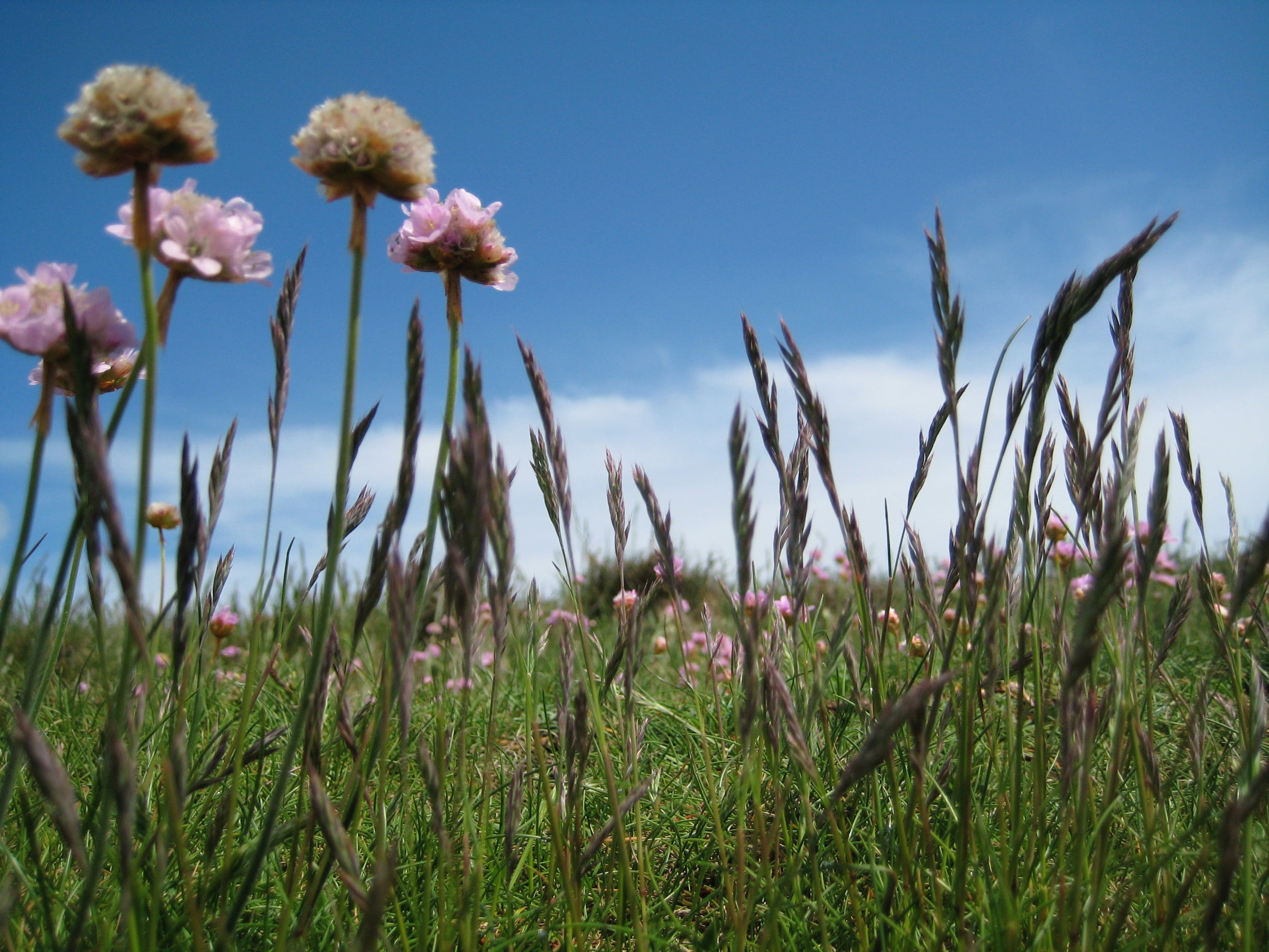 Pink Flower on Green Field Under White and Blue Sky during Daytime