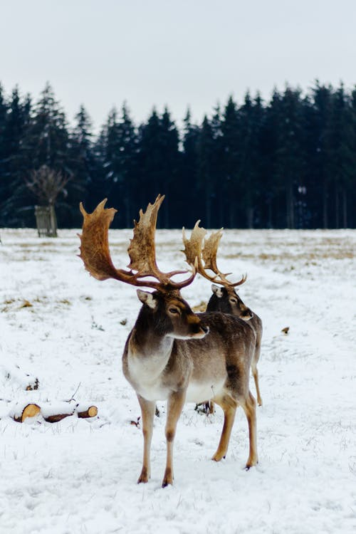 Brown and Black Deer on Snow Covered Ground