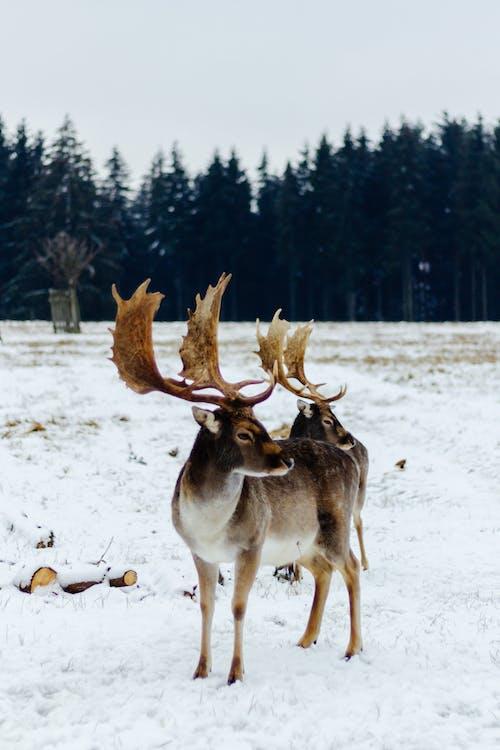 Immagine gratuita di alce, all'aperto, animale, barbaro