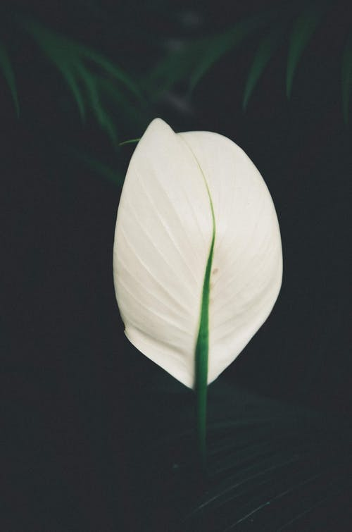 Blooming peace lily with white bract in summer