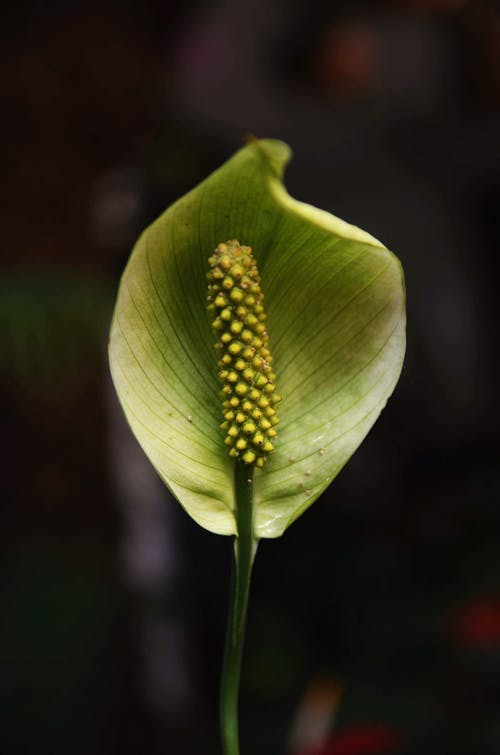 Blooming Calla with thin stem and bract