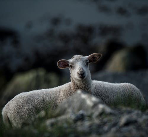 Free stock photo of agriculture, animal, baby, baby sheep