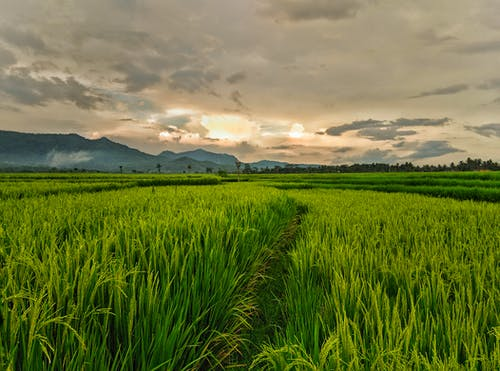 Scenery of a Rice Field under a Cloudy Sky