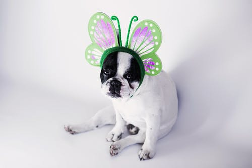 White and Black Short Coat Small Dog Wearing a Green Butterfly Head Band
