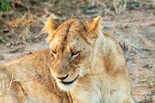 Foto profissional grátis de animais selvagens, bravo, carnívoro
