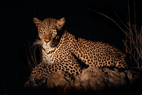 Photo of a Leopard Lying on a Brown Rock