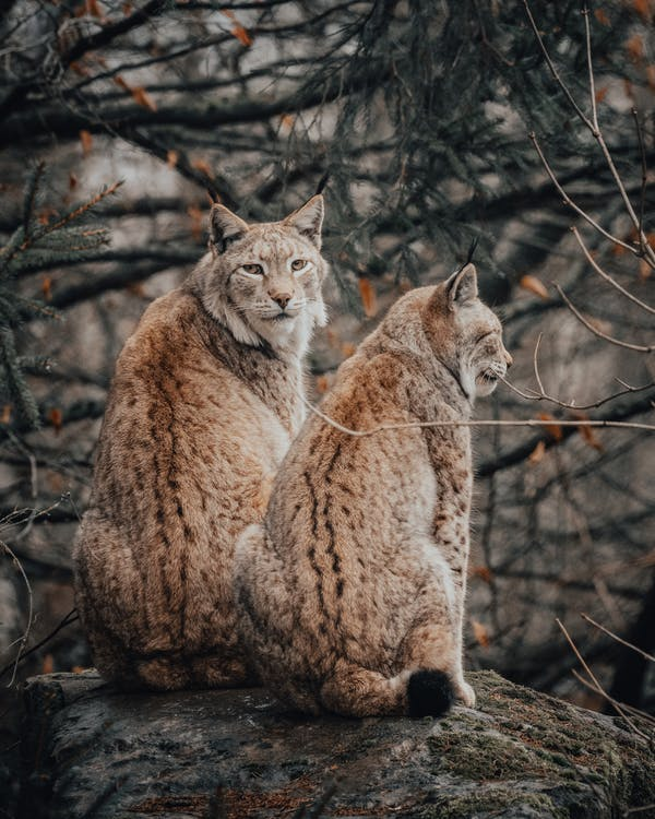 Wild Eurasian lynxes sitting on ground among leafless trees placed in forest in countryside in daytime