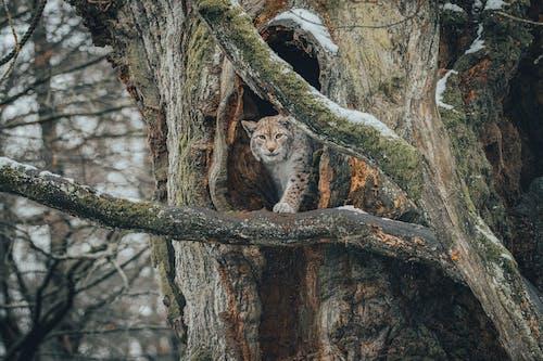 Lynx on branch in forest near hole in tree