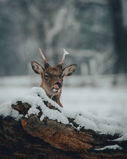 Furry deer with short horns and brown fur near fallen dry tree trunk with tongue out on snowy meadow near forest in winter day in nature