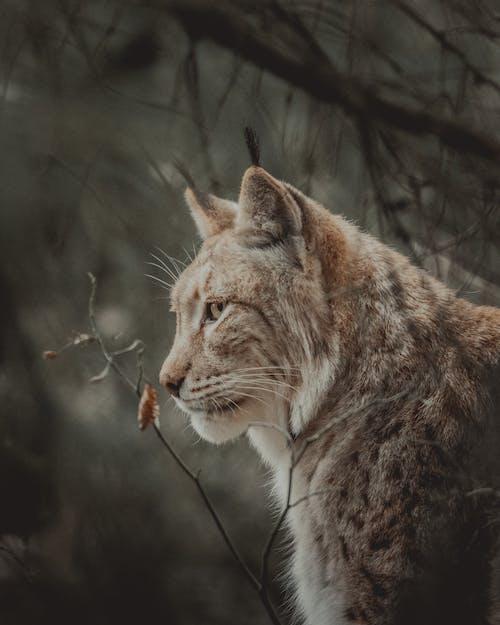 Wild furry lynx in forest near leafless tree sprigs in daylight looking away