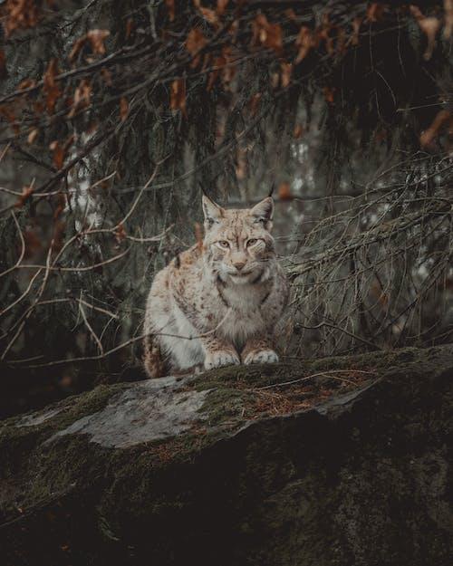 Furry lynx on boulder in forest near tree sprigs