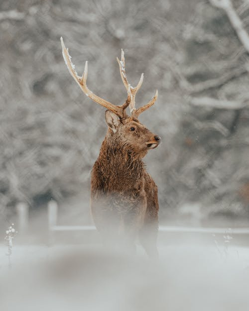 Fluffy deer with brown fur and long horns standing on snowy lawn near woods and looking away in winter day