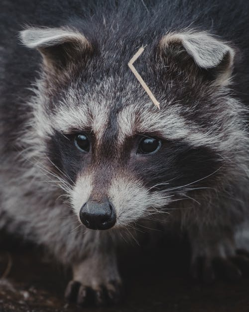Raccoon standing on ground in nature