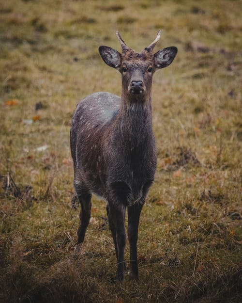 Little deer with short horns and brown fur with white spots standing on grassy field in nature in daytime and looking at camera