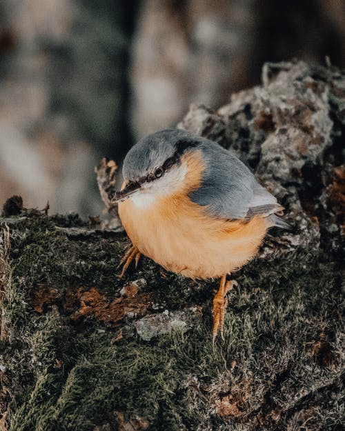 Nuthatch bird on tree branch in nature
