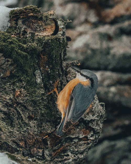 Little bird called Eurasian nuthatch or wood nuthatch with gray feathers and orange belly with white throat and black eye stripe standing on tree branch covered in moss in daytime