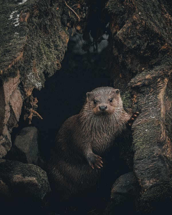 Otter standing near cave entrance surrounded with rocks