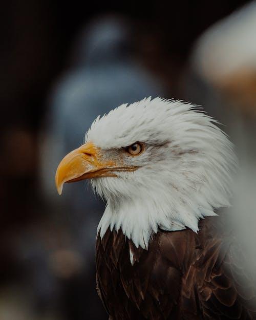 Wild bald eagle bird with dark brown plumage and white head with yellow beak looking away