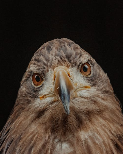 Eagle bird with brown plumage and yellow with black beak looking at camera on black background