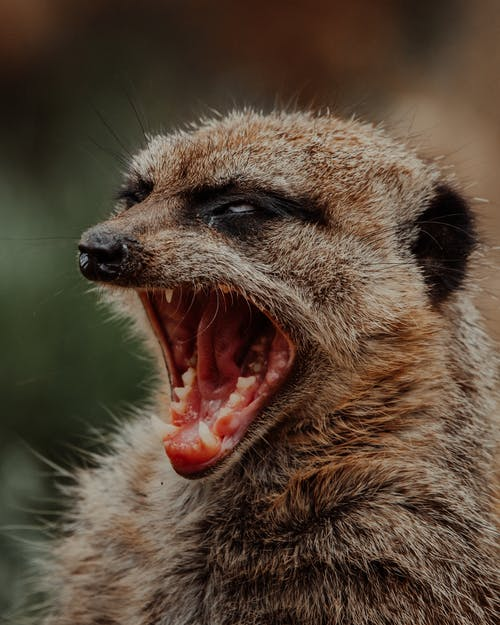 Suricate with open mouth in nature