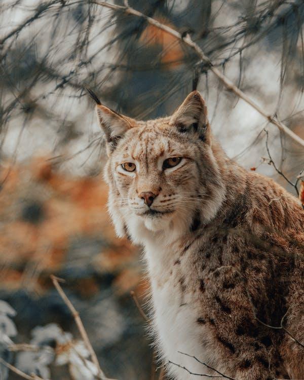 Furry lynx in nature near tree twigs