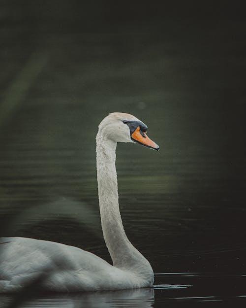 White swan with black spot near orange beak swimming in rippling lake near grass in daylight in nature