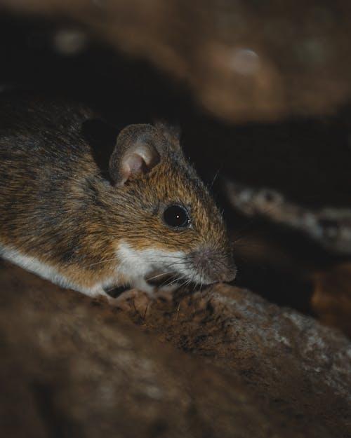 Close-Up Photo of a Brown Rat
