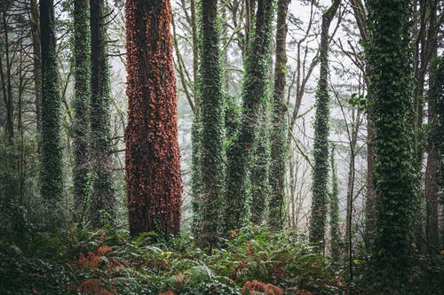 Tall trees trunks covered with fern growing in lush rainforest on foggy day
