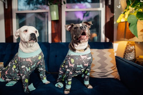 Purebred dogs in ornamental wear resting on couch at home