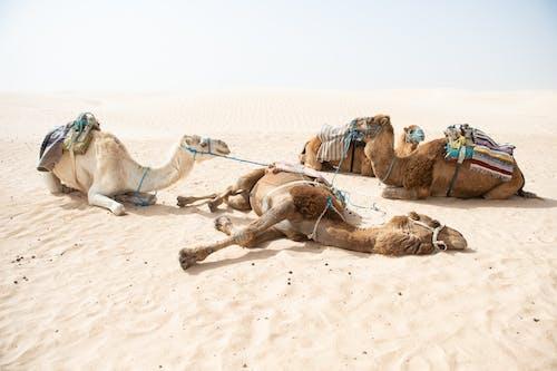 Безкоштовне стокове фото на тему «верблюди, відпочинок, гарячий»