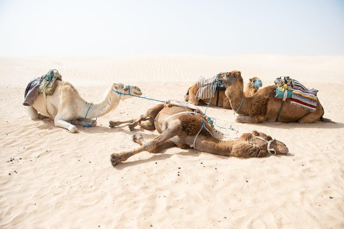 Бесплатное стоковое фото с Аравийский верблюд, бедуин, верблюд