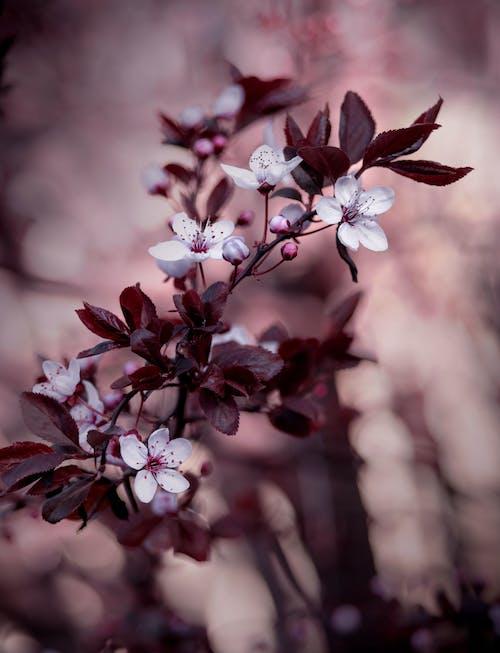 Cherry Blossoms in Tilt Shift Lens